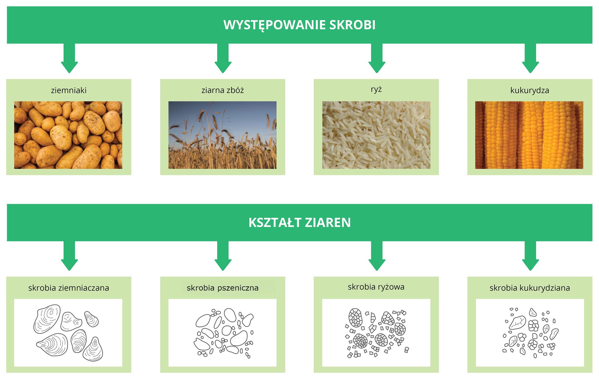 Występowanie skrobi oraz kształt ziaren różnego pochodzenia skrobi