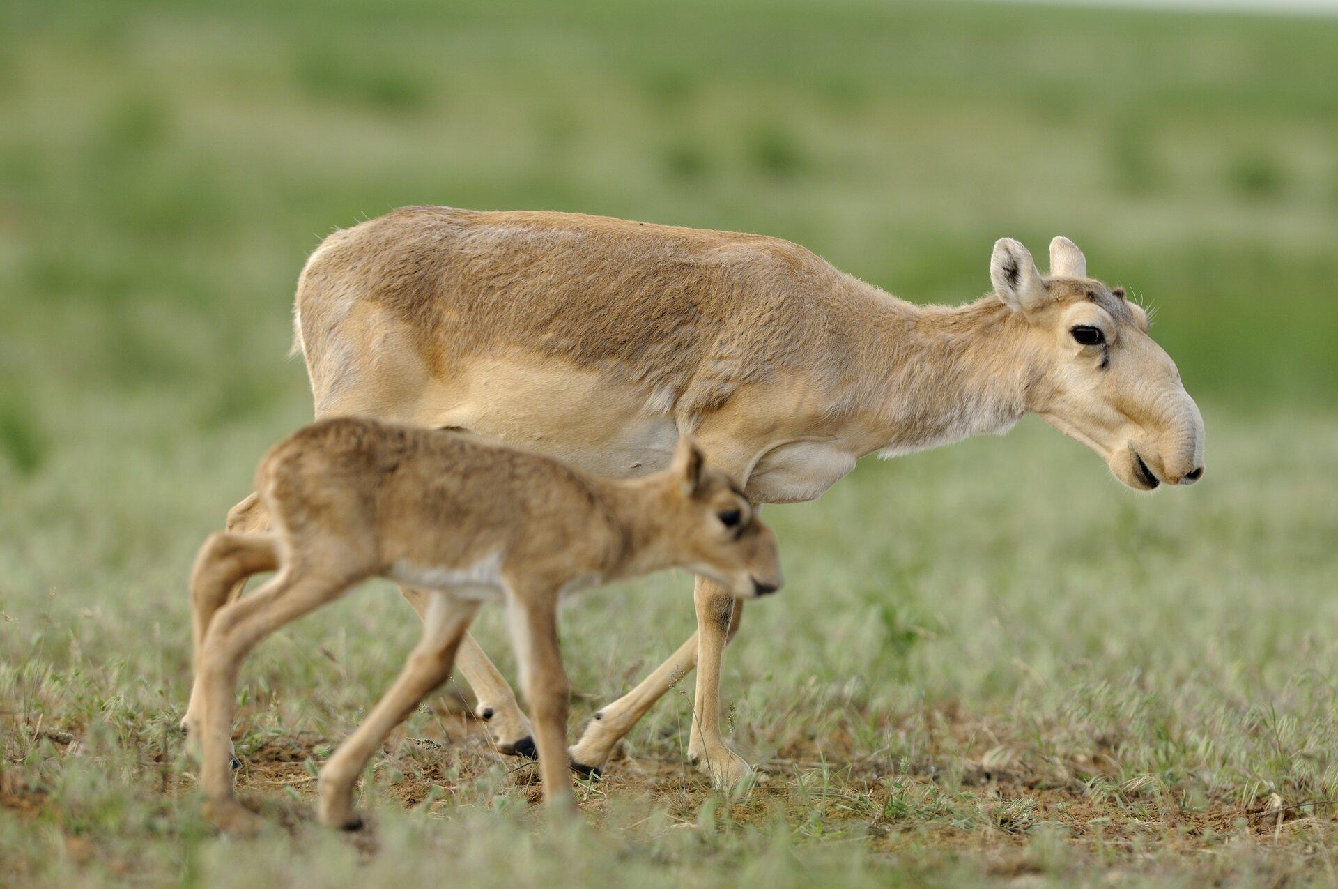 Fotografia czwarta prezentuje samicę suhaka zmłodym wędrującą po stepie. Suhaki maja charakterystyczną trąbkę nad nosem.