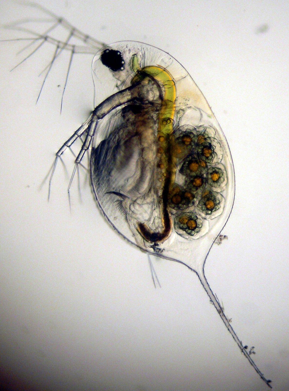Wgalerii znajdują się fotografie przedstawicieli skorupiaków. Fotografia mikroskopowa przedstawia półprzezroczystą rozwielitkę. Zwierzę ma kształt owalny zwyrostkiem wdolnej części. Cztery gałęziaste odnóża skierowane wlewo. Wewnątrz rozwielitki żółte, szare iczarne układy. Zprawej skupienie kulistych jajeczek, pomarańczowych zciemnoszarą otoczką.