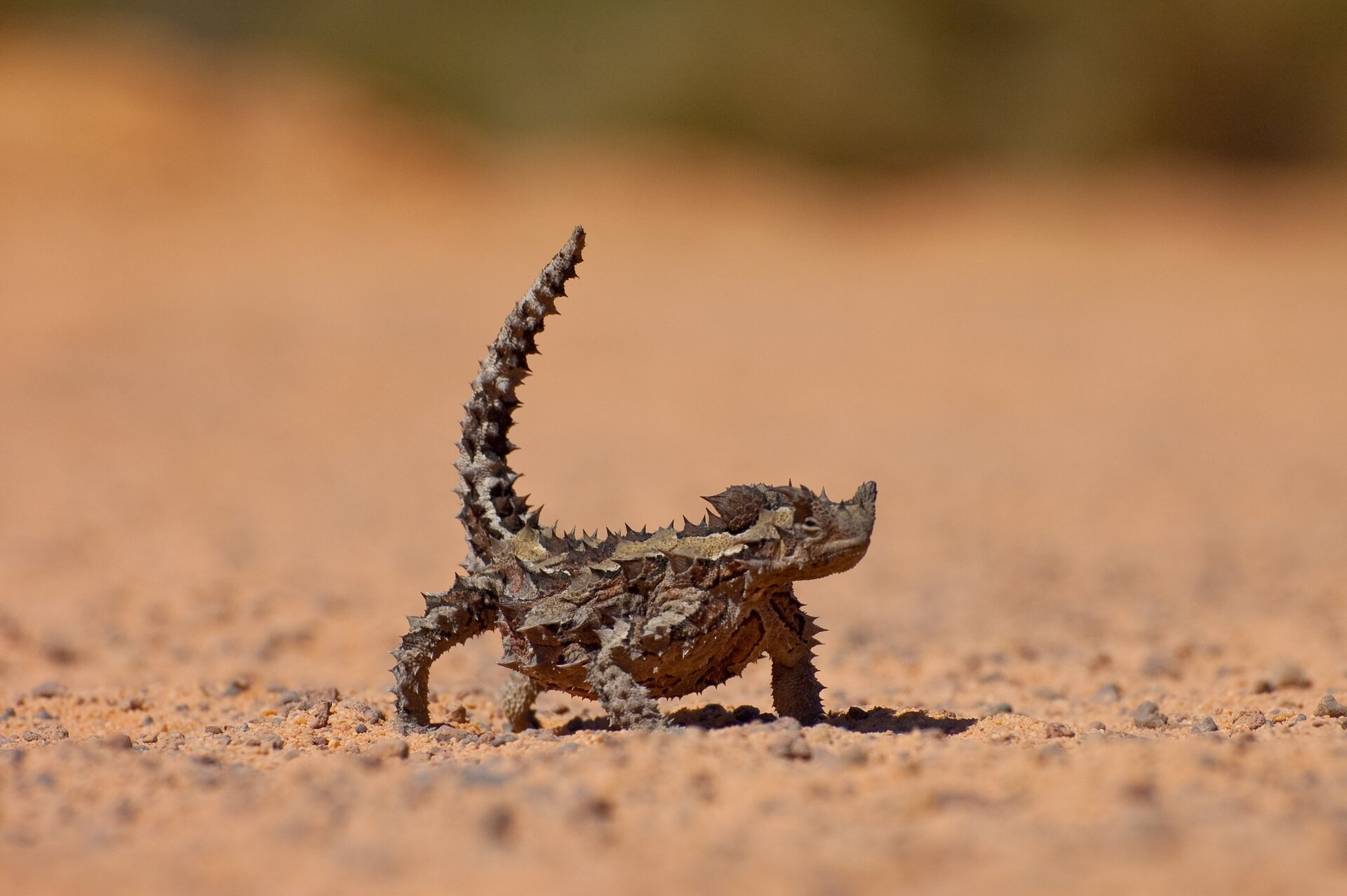 Fotografia druga prezentuje jaszczurkę na piasku widoczną od przodu. Jaszczurka jest kilkunastu centymetrów długości. Ma ciało pokryte łuskami podobnymi do kolców.