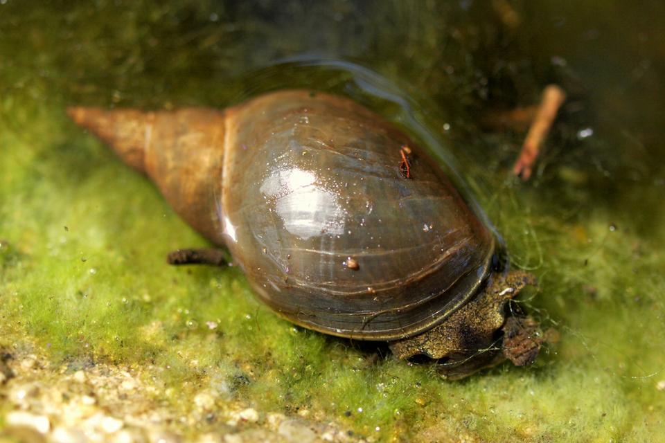 Wgalerii znajdują się fotografie przedstawicieli krajowych ślimaków. Fotografia przedstawia brązowego ślimaka, zanurzonego wwodzie. Pod nim zielone glony. Jego muszla jest wyciągnięta wspiczasty rożek. Głowę ma skierowaną wprawo. To błotniarka stawowa.