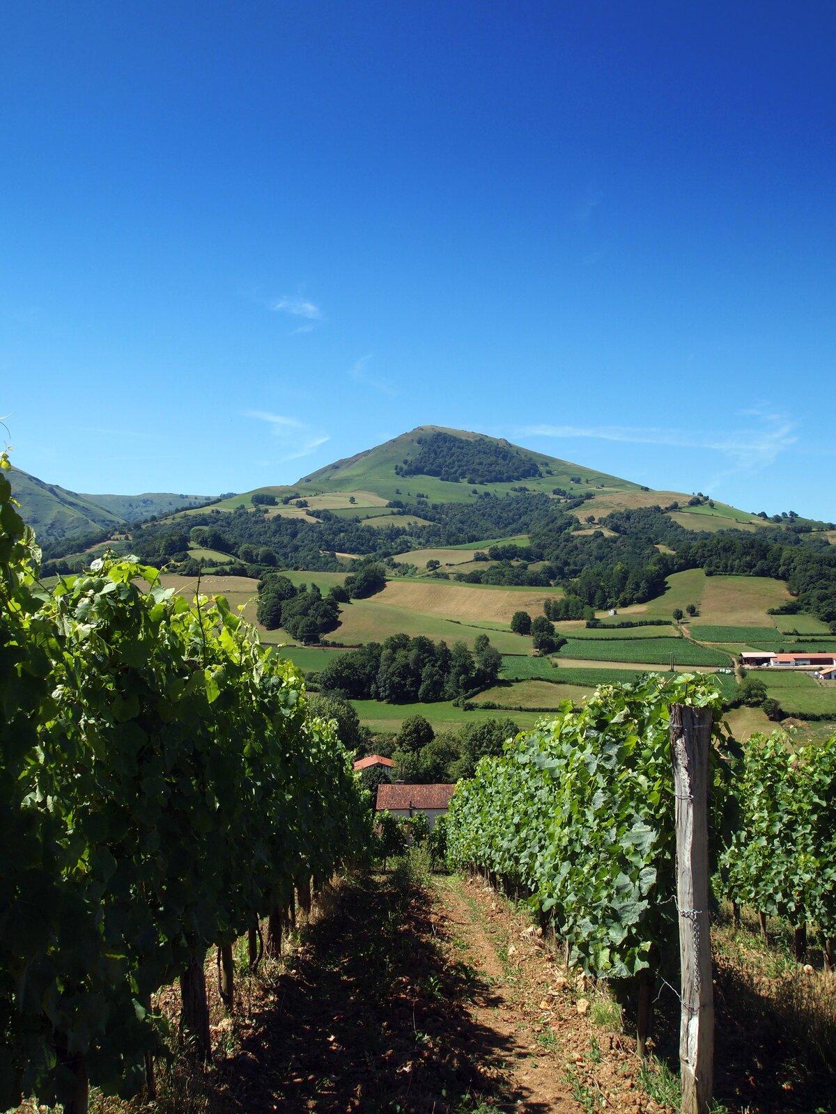 Na ilustracji plantacja winorośli. Wtle łagodne pagórki porośnięte lasem, pola uprawne.