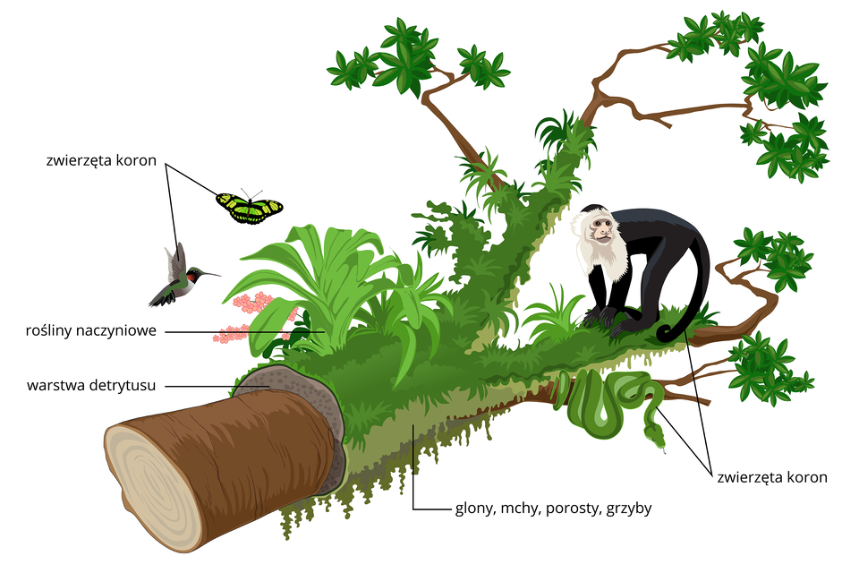 Ilustracja przedstawia odcięty fragment pnia wpozycji leżącej. Na nim wdetrytusie rosną rośliny naczyniowe oraz glony, mchy iporosty. Na pniu iobok ukazano zwierzęta, żyjące wkoronach drzew, na przykład małpę kapucynkę.