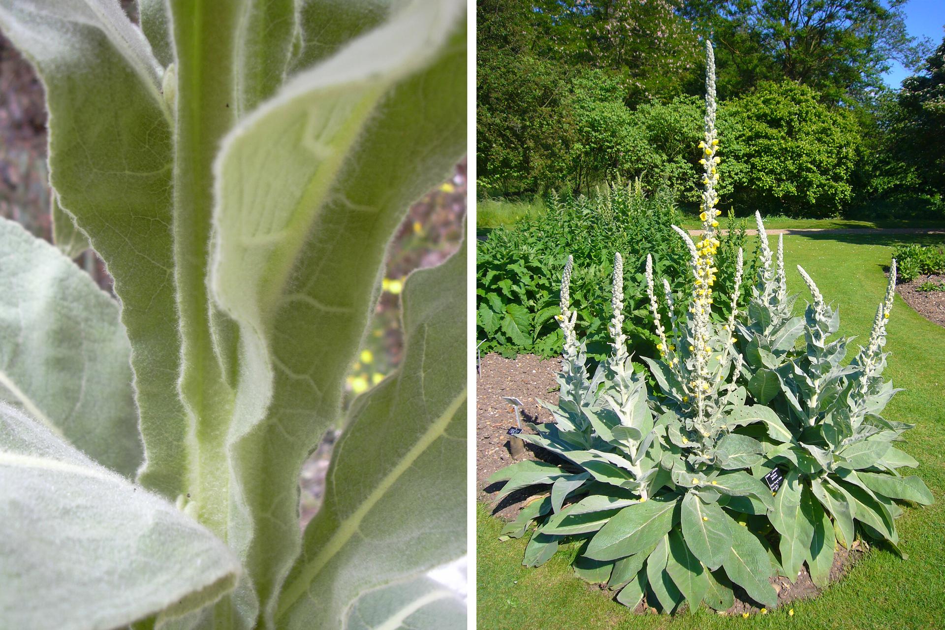 Ilustracja składa się zdwóch fotografii. Pierwsza zlewej przedstawia zbliżenie szaro zielonego liścia dziewanny. Fotografia po prawej przedstawia kilka dużych pędów dziewanny, rosnących wogrodzie wśród innych roślin. Dziewanna ma wzniesione kwiatostany zżółtymi kwiatami.