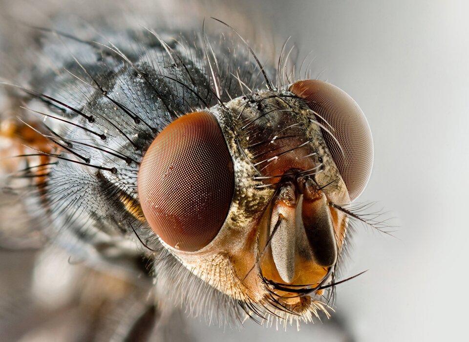 Fotografia przedstawia wdużym zbliżeniu trójkątną głowę owada od przodu. Po bokach duże, wypukłe, jasnobrązowe, siateczkowate oczy złożone. Pod nimi pionowo szarawy aparat gębowy. Czułki krótkie, pierzaste. Ciało owada porośnięte długimi, szczeciniastymi czarnymi iszarymi włoskami.