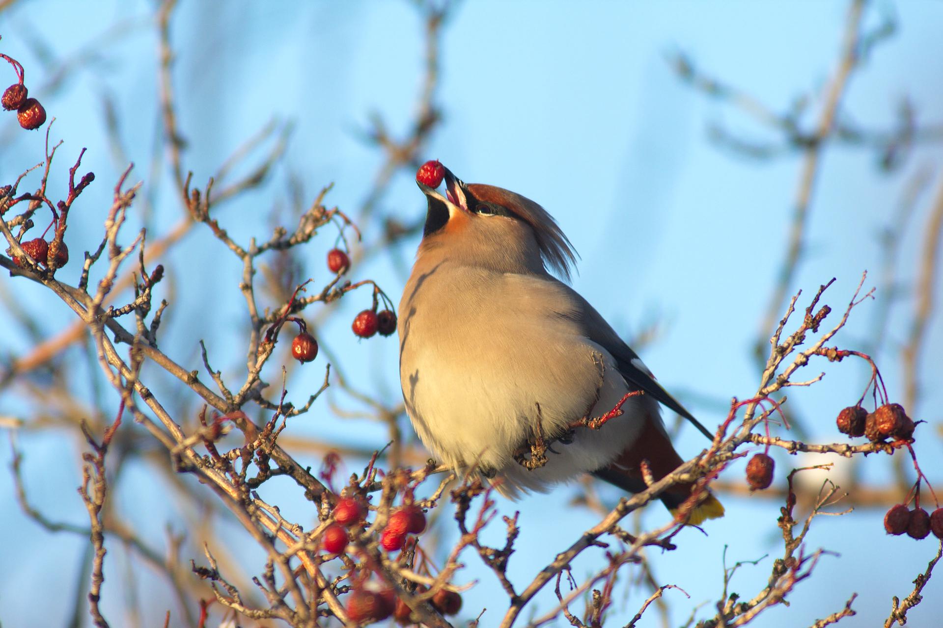 Fotografia jemiołuszki siedzącej na drzewie pozbawionym liści. Ptak ma beżowe pióra, zczarnymi końcówkami skrzydeł, czarnym czołem igardłem. Na skrzydłach cienkie czerwone kreski. Na drzewie wiszą czerwone owoce, ajednego znich jemiołuszka trzyma wdziobie.