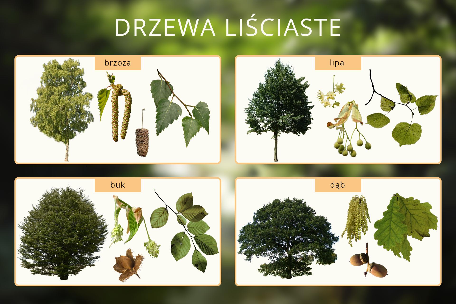 Schemat przedstawiający budowę wybranych pospolitych gatunków drzew liścianych, po prawej stronie schematycznej budowy każdego zdrzew znajduje się powiększenie budowy liści, kwiatów iowoców.