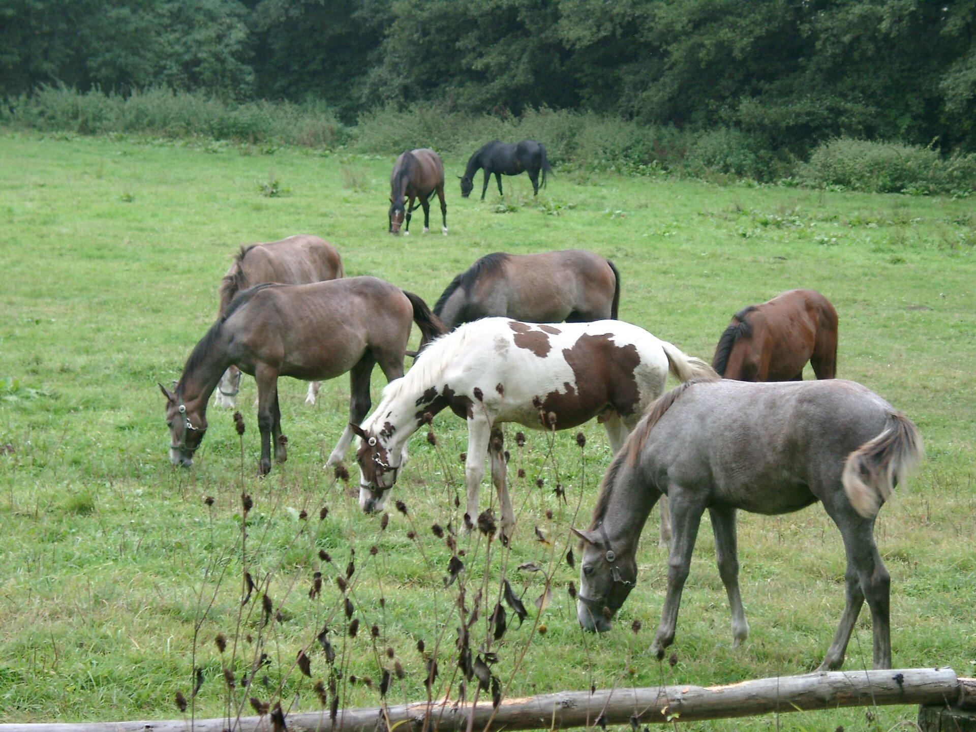 Na zdjęciu stado koni na pastwisku pod lasem.