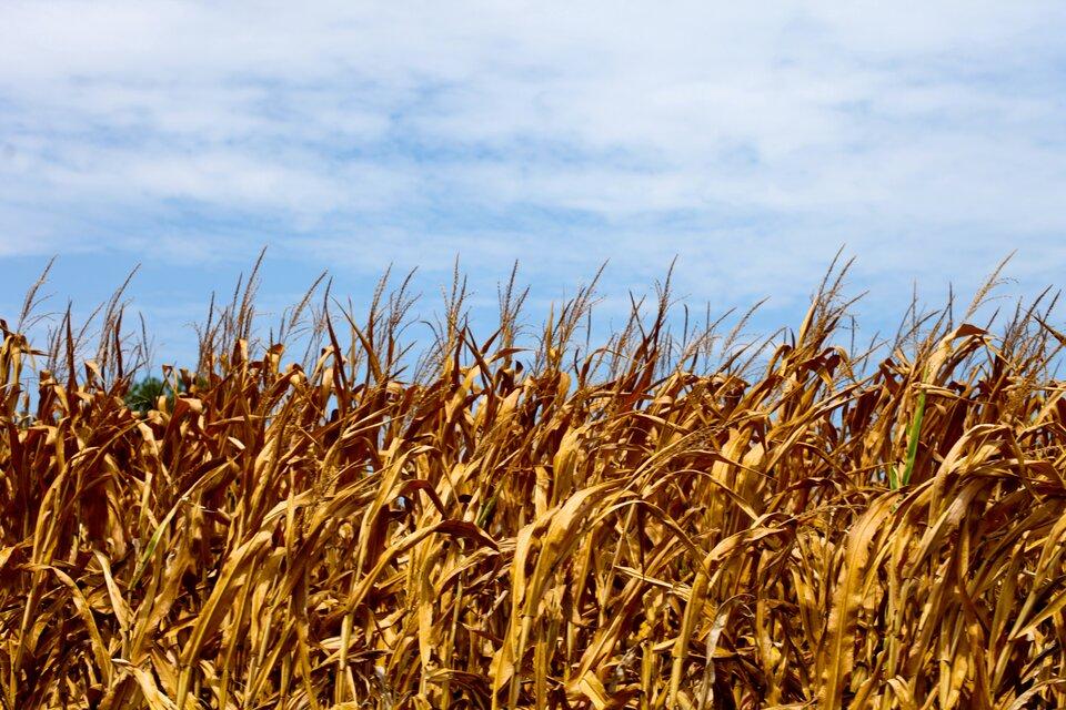 Fotografia prezentuje pole uprawne uschłej, żółtej kukurydzy.