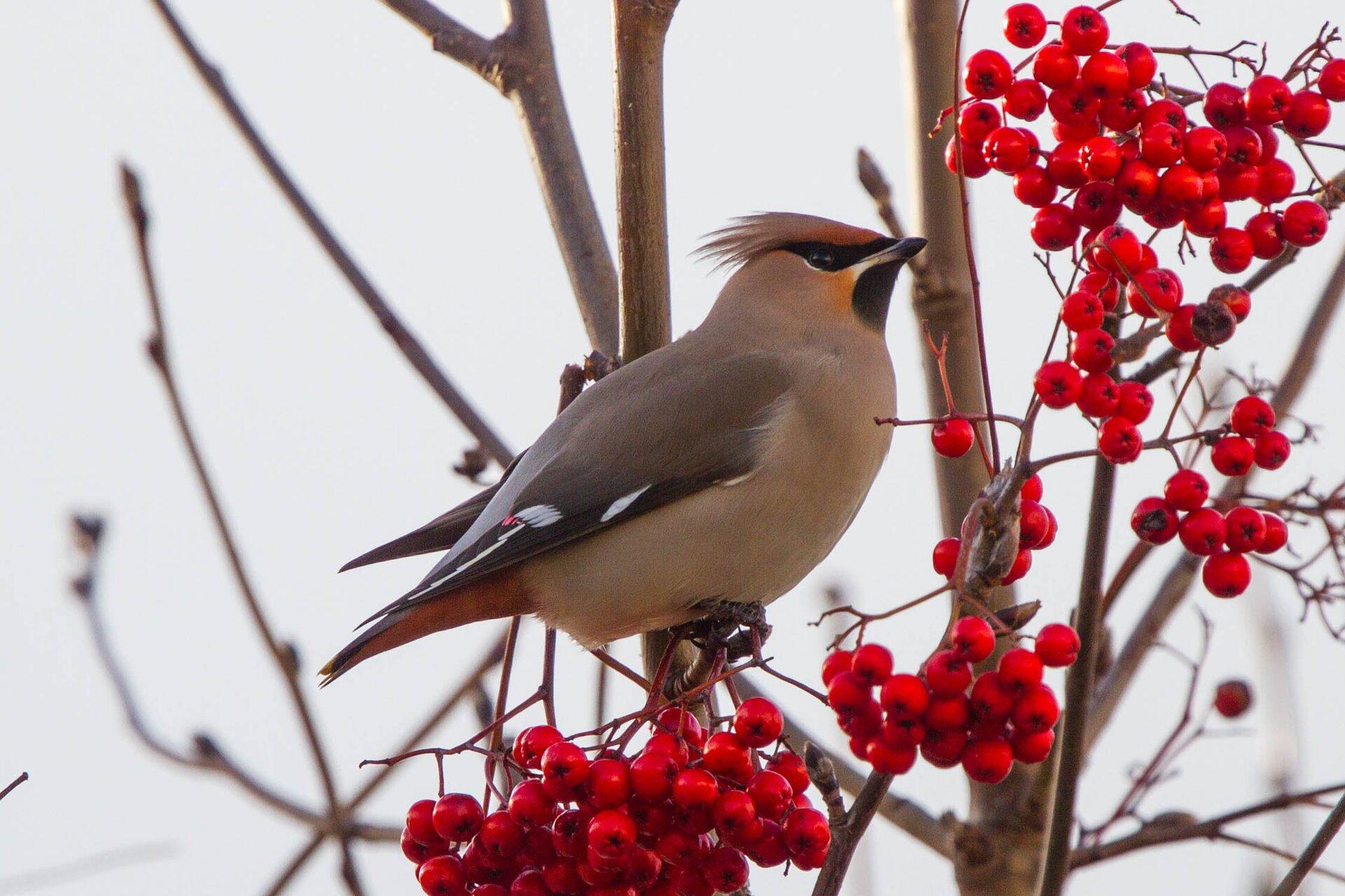 Fotografia prezentuje jemiołuszkę siedzącą na gałęzi zczerwonymi owocami jarzębiny. Jemiołuszka ma krępą, niewielką sylwetkę. Upierzenie brązowoszare.Na skrzydłach pióra mają białe paski. Ogon czarny zżółtym obramowaniem na końcu, na skrzydłach dwie duże białe pręgi. Pokrywy podogonowe są rdzawe. Dziób inogi czarne.