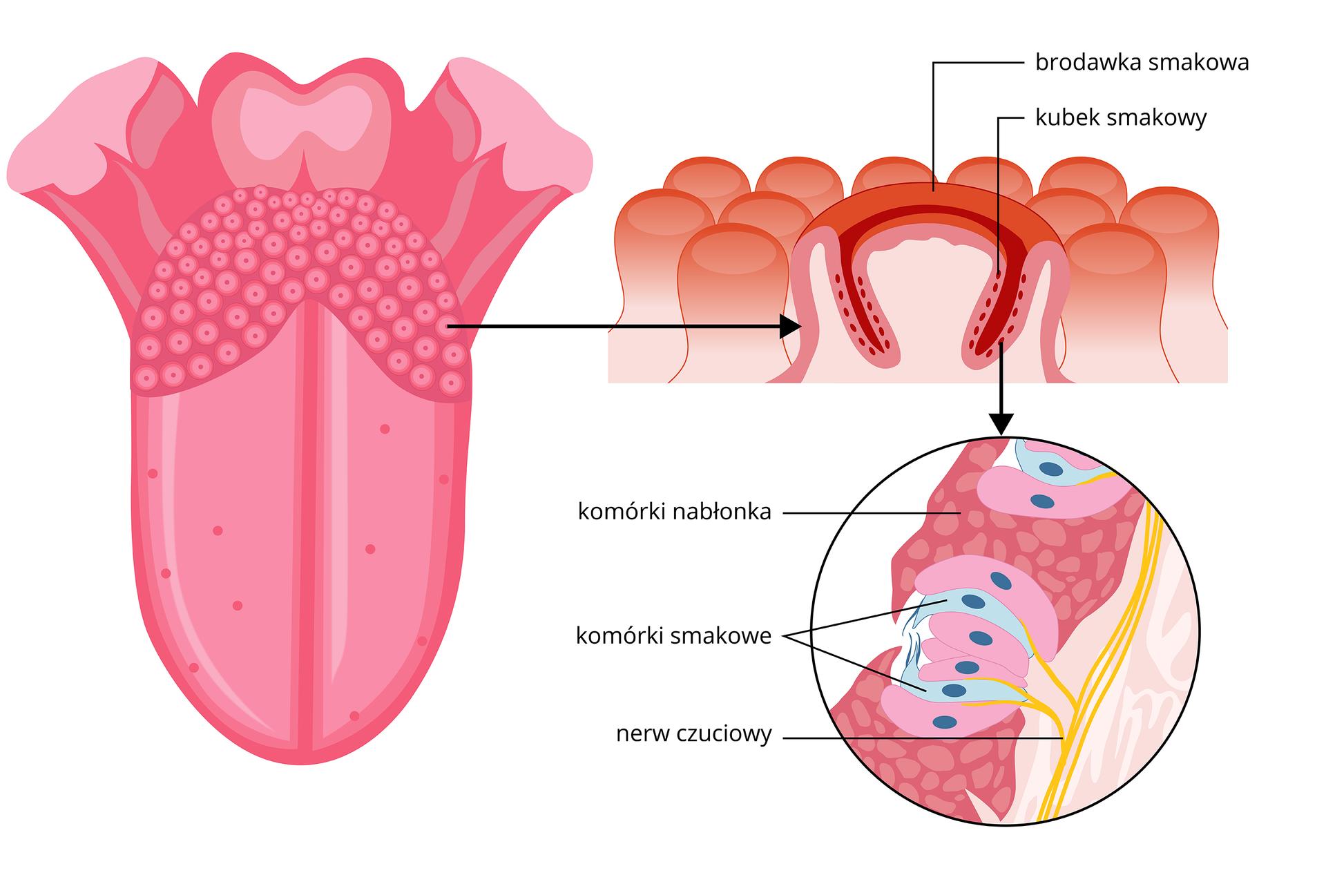 Ilustracja przedstawia duży różowy język. Na jego powierzchni znajdują się różne kropki. Powiększenie zprawej to pomarańczowo – różowe słupki, czyli brodawki smakowe na języku. Wich ścianach znajdują się kubki smakowe. Wkolejnym powiększeniu wkubku smakowym błękitne komórki smakowe znajdują się pomiędzy różowymi komórkami nabłonka. Od nich odchodzą nerwy smakowe.