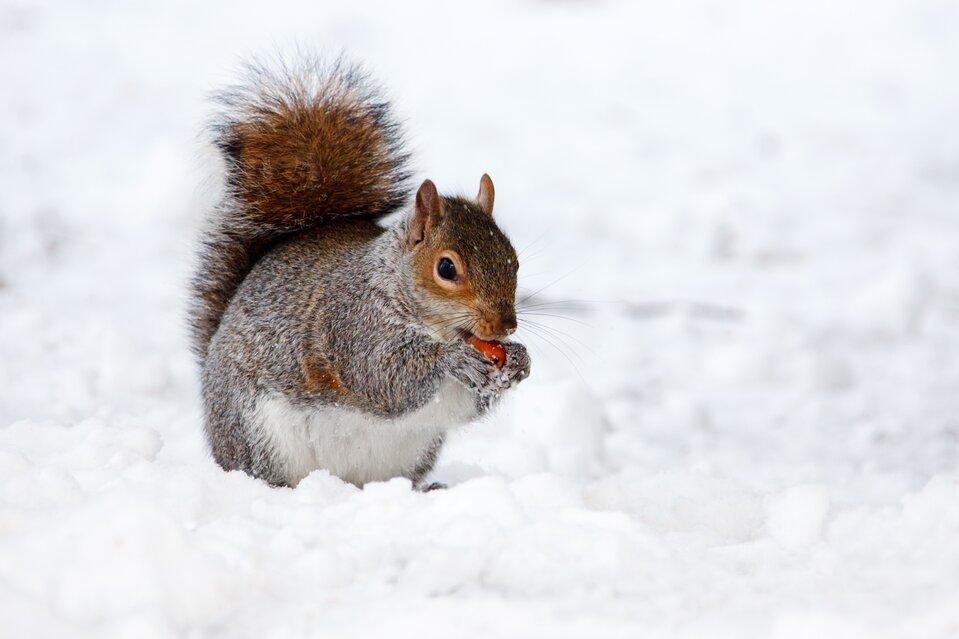 Fotografia przedstawia brązową wiewiórkę zbiałym brzuchem, siedzącą na śniegu. Jej futerko jest ośnieżone. Ogon zadarty do góry, wprzednich łapkach przy pyszczku czerwony owoc.