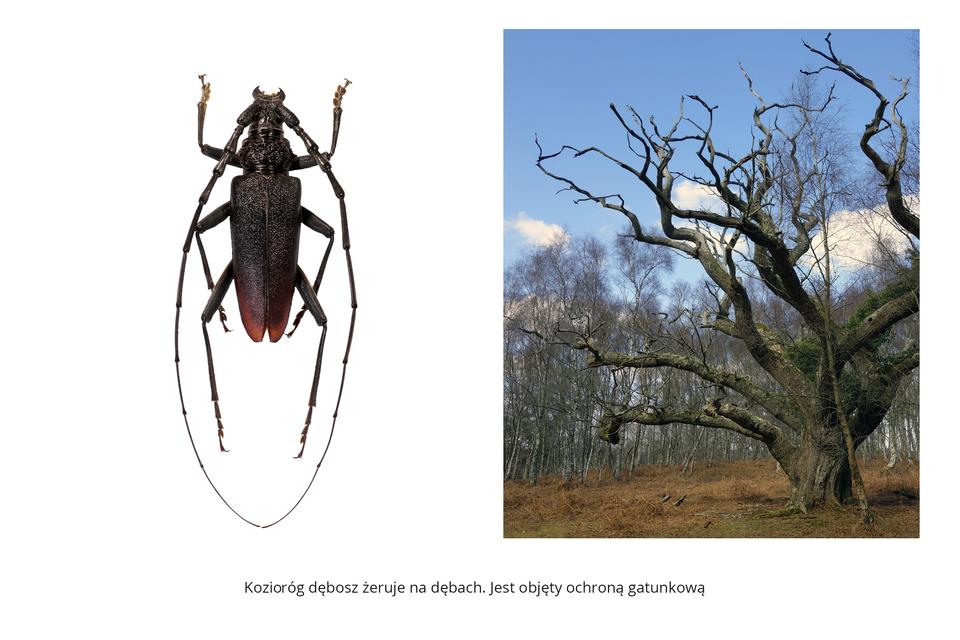 Wgalerii znajdują się pary fotografii, przedstawiające różne owady iich larwy. Fotografia zlewej przedstawia pionowo smukłego, ciemnobrązowego kozioroga dębosza. Ma bardzo długie, łukowate czułki ułożone do tyłu. Skórzaste skrzydła złożone na odwłoku. Fotografia zprawej przedstawia poziomo przednią część ciała kozioroga poziomo na pniu drzewa.