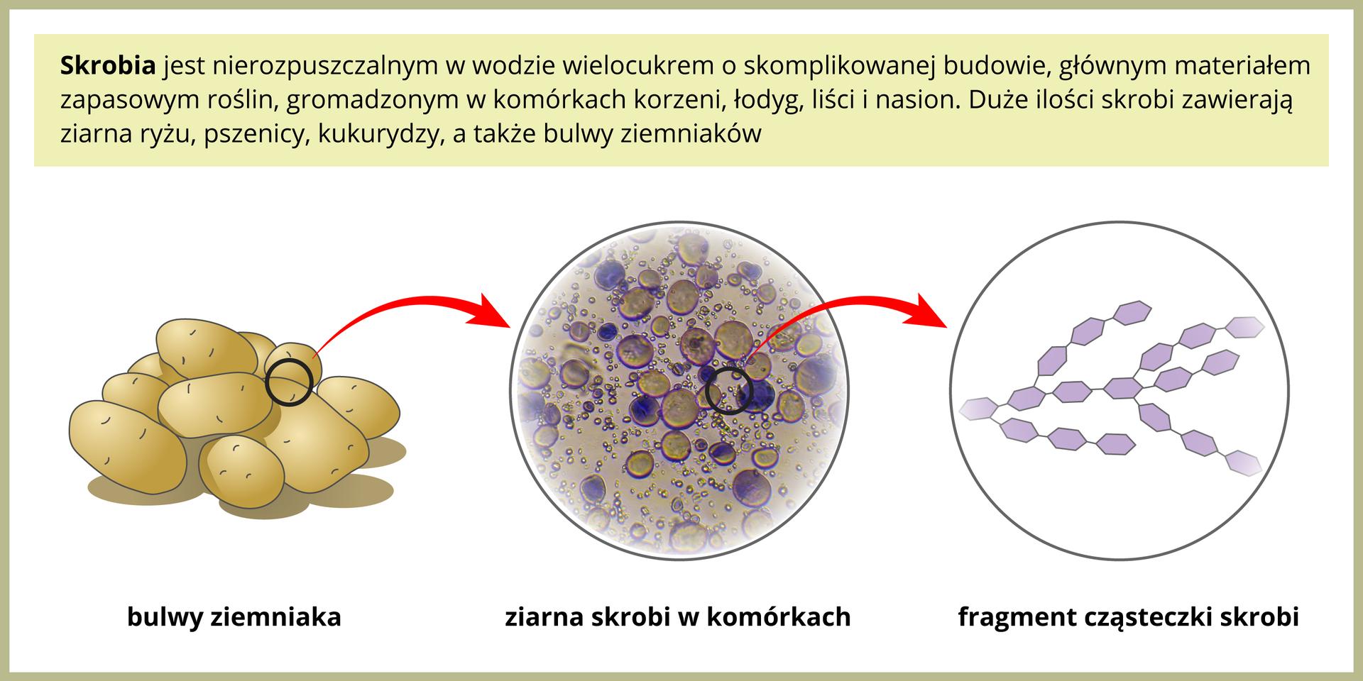 Ilustracja przedstawia po lewej kilka bulw ziemniaków. Czerwona strzałka prowadzi wprawo do powiększenia komórki ziemniaka. Wkomórce znajdują się wybarwione na brązowo ifioletowo ziarna skrobi. Kolejna strzałka wprawo prowadzi do powiększenia cząsteczki skrobi. Zbudowana jest zwielu fioletowych sześciokątów, czyli cząsteczek glukozy.