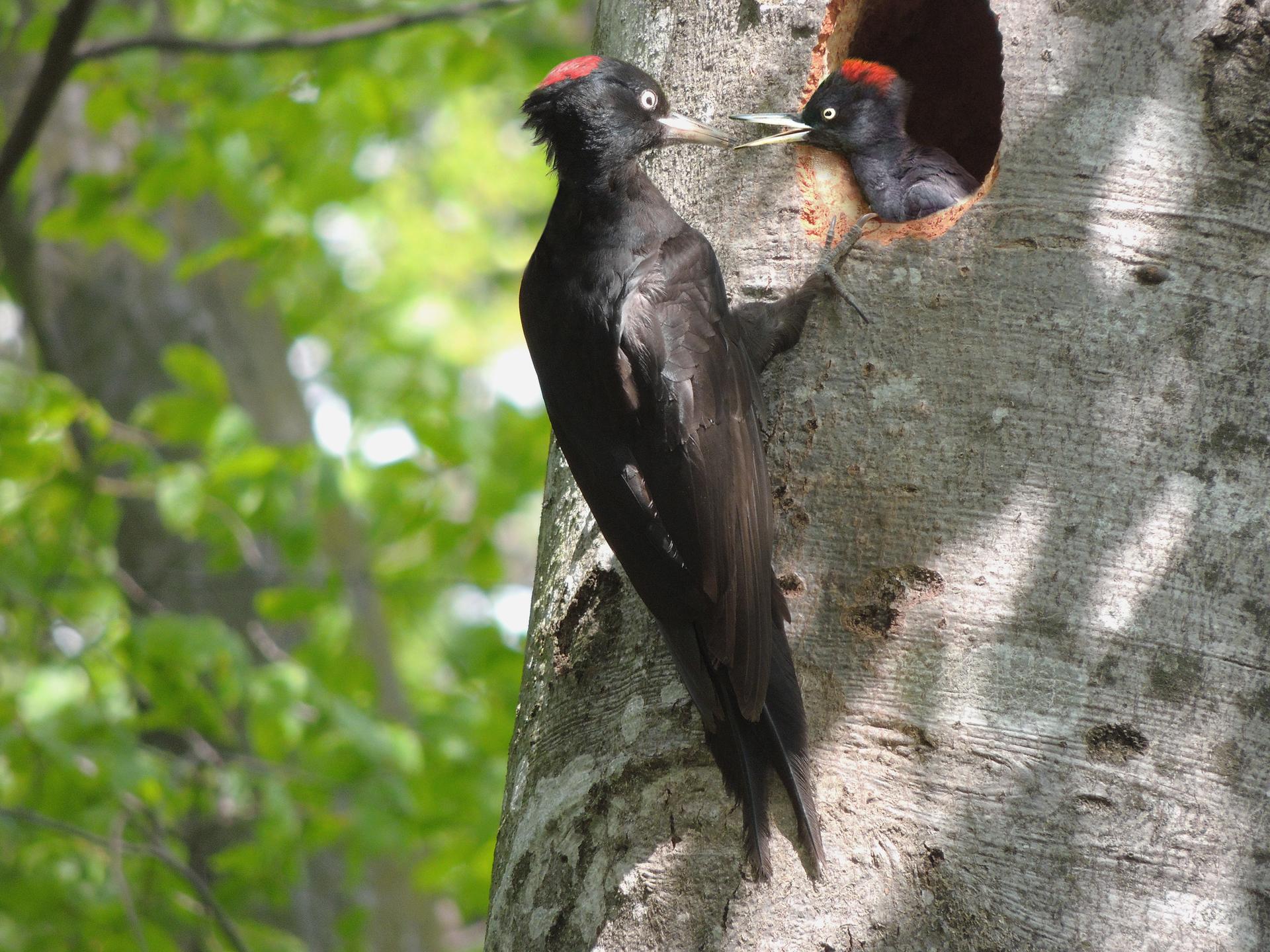 Fotografia przestawia zbliżenie szarego pnia drzewa. Zprawej zaczepiony pazurami przy otworze dziupli siedzi smukły czarny dzięcioł zczerwoną czapeczką. Wkłada swój dziób do otwartego dzioba małego dzięcioła, wychylającego głowę zdziupli.