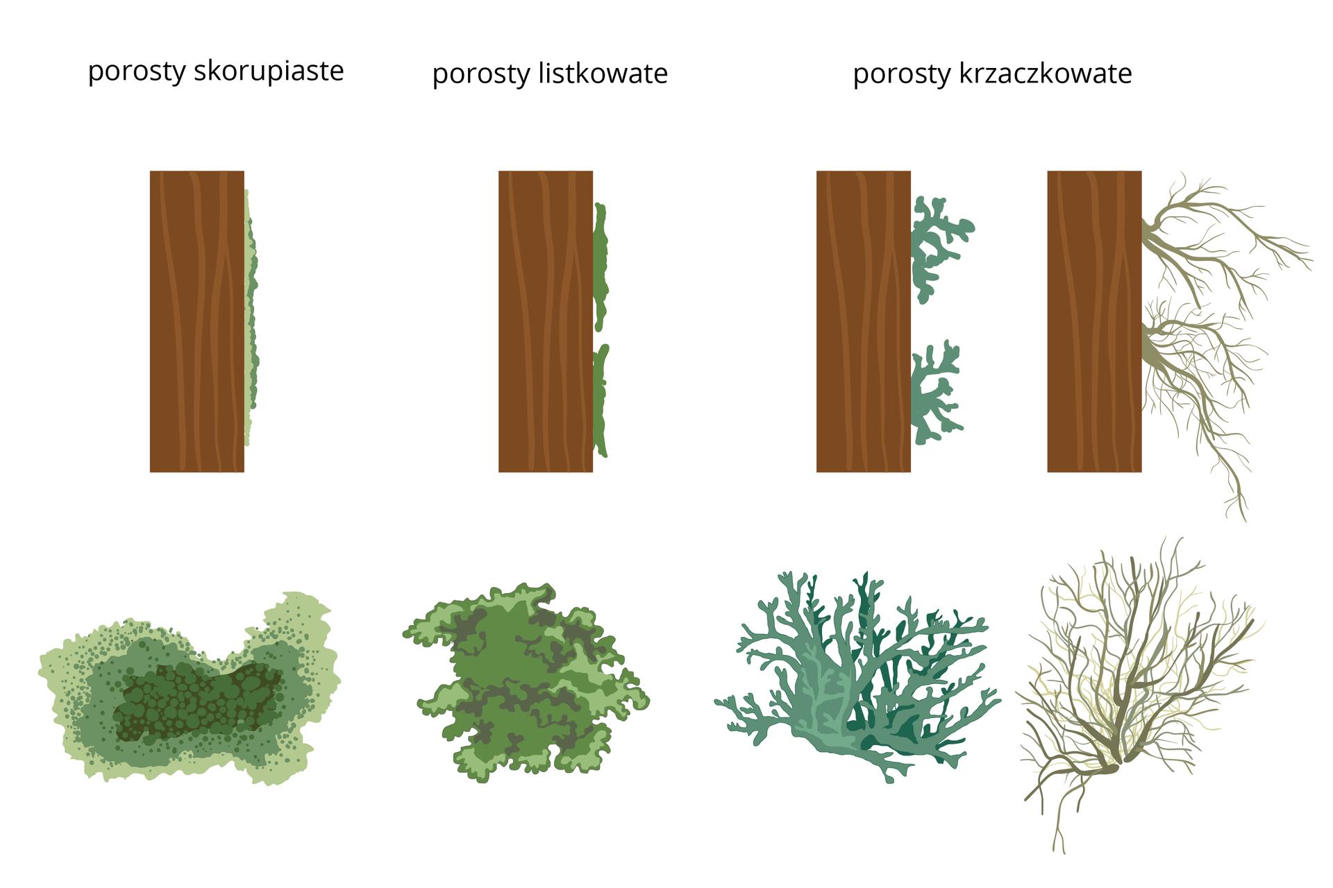 """Ilustracja przedstawia schematycznie cztery brązowe pnie drzew. Na ich prawej stronie ukazano szaro zielone kształty, przedstawiające porosty zboku. Rysunki plech porostów znajdują się pod odpowiednimi pniami drzew. Pierwszy zlewej to porost skorupiasty. Ma kształt nieregularnego placka zplamkami wjaśniejszych iciemniejszych odcieniach. Drugi to porost listkowaty, wkształcie zielonej, płaskiej kępki. Trzeci to niebieskawy porost krzaczkowaty ogrubych """"gałązkach"""". Ostatni zprawej to też porost krzaczkowaty, ale ocienkich idługich """"gałązkach""""."""