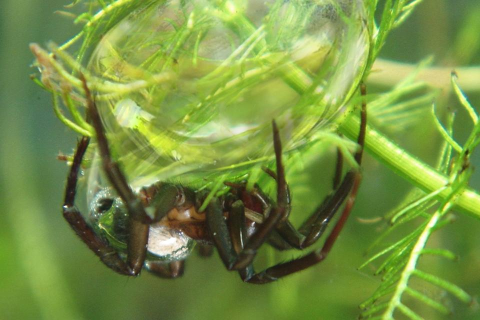Fotografia przedstawia kulisty twór na roślinie podwodnej, zbrązowym pająkiem udołu. To pajęczyna topika, wypełniona powietrzem. Na owłosionym ciele pająka udołu błyszczący pęcherzyk powietrza.