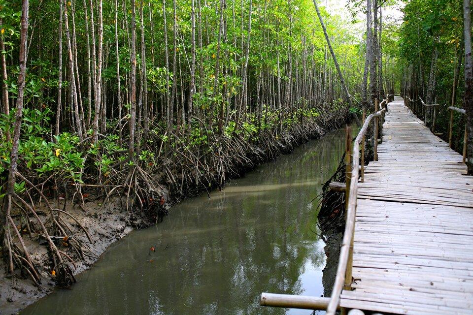 Na zdjęciu las, korzenie drzew wystają ponad powierzchnię gleby. Rów zwodą., drewniany pomost.
