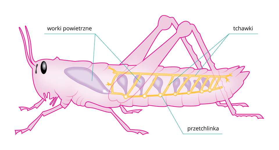 Ilustracja przestawia sylwetkę owada, na której narysowano żółtym kolorem tchawki okształcie drabinki otwierające się na zewnątrz przetchlinkami. Ztchawkami łącza się worki powietrzne.