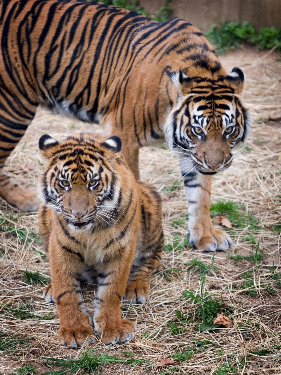 Fotografia przedstawia dwa tygrysy sumatrzańskie, samicę zmłodym. Oba mają brązowe futro wczarne paski. Mały tygrys siedzi zprzodu na suchej trawie, duży stoi ztyłu na ogrodzonym terenie.
