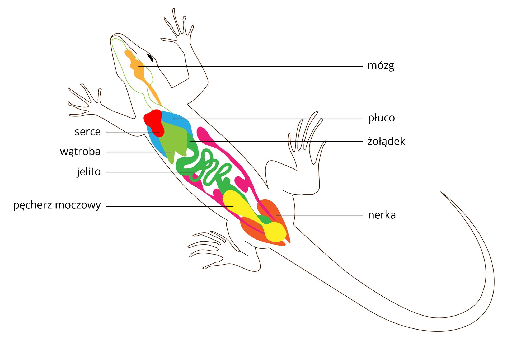Rysunek sylwetki jaszczurki ukosem wlewo. Wnim wrysowane kolorami narządy wewnętrzne. Od góry: żółtopomarańczowy mózg, błękitne płuca, czerwone serce. Odcieniami zieleni części układu pokarmowego: wątroba, żołądek ijelito. Na żółto pęcherz moczowy ipomarańczowe nerki. Kolor różowy to układ rozrodczy.