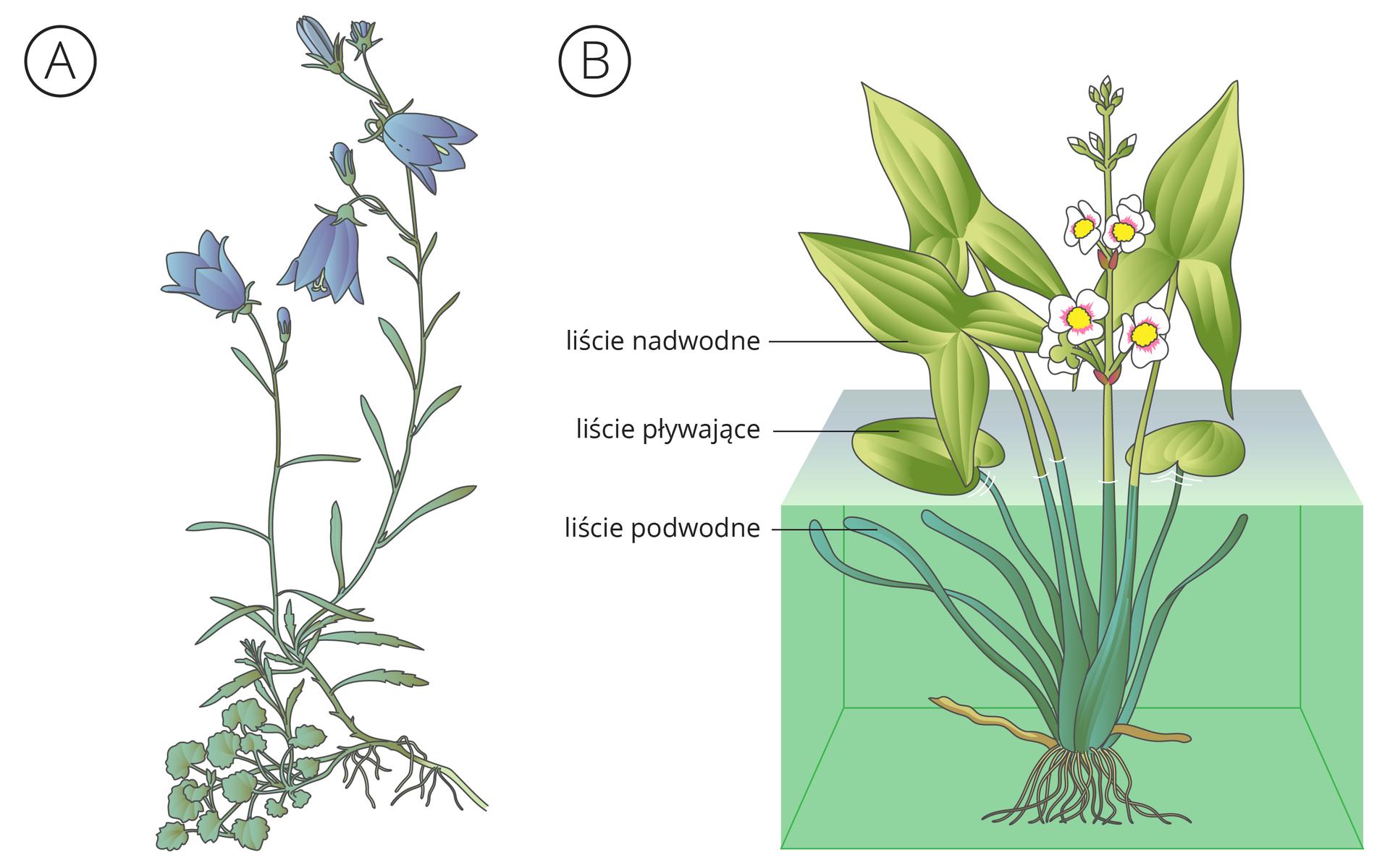 Ilustracja przedstawia dwie rośliny. Po lewej pod literą Adzwonek okrągłolistny, zniebieskimi kwiatami. Ugóry łodygi ma liście wąskie, udołu liście okrągłe. Po prawej pod literą Bstrzałka wodna, przestawiona częściowo wsześcianie wody. Nad wodę wznoszą się liście wkształcie strzałek ibiałe kwiaty zżółtym środkiem. Na wodzie pływają liście owalne. Pod wodą znajdują się liście taśmowate.