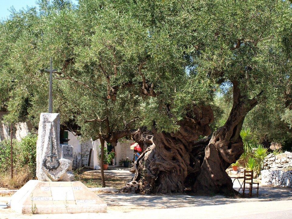 Zdjęcie przedstawia jedno znajstarszych drzew oliwnych. Po prawej pień drzewa oporowatej skręconej powierzchni. Średnica pnia ponad jeden metr. Kora drzewa onierównej powierzchni. Pień tworzy plątanina gałęzi.