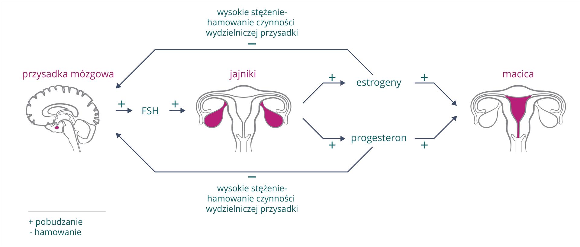 Schemat przedstawia sposób regulacji hormonalnej cyklu miesiączkowego. Znak plus oznacza pobudzanie, znak minus hamowanie. Zlewej szary obrys mózgu zkarmazynową przysadką mózgową. Wprawo pozioma strzałka, hormon FSH zprzysadki pobudza jajniki, na środkowym rysunku zaznaczone kolorem. Jajniki produkują estrogeny iprogesteron, wpływające pobudzająco na macicę (zaznaczona kolorem) . Jednocześnie estrogeny iprogesteron hamują wydzielanie przysadki mózgowej (długie strzałki ugóry iudołu).