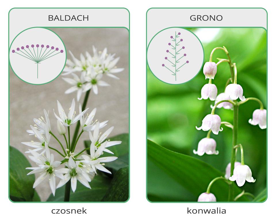 Fotografia po lewej przedstawia luźny kwiatostan, złożony zbiałych kwiatów, wzniesionych na cienkich łodyżkach. Tak wygląda baldach.Fotografia przedstawia zieloną łodyżkę, zktórej zwisają białe dzwonkowate kwiaty. To grono.