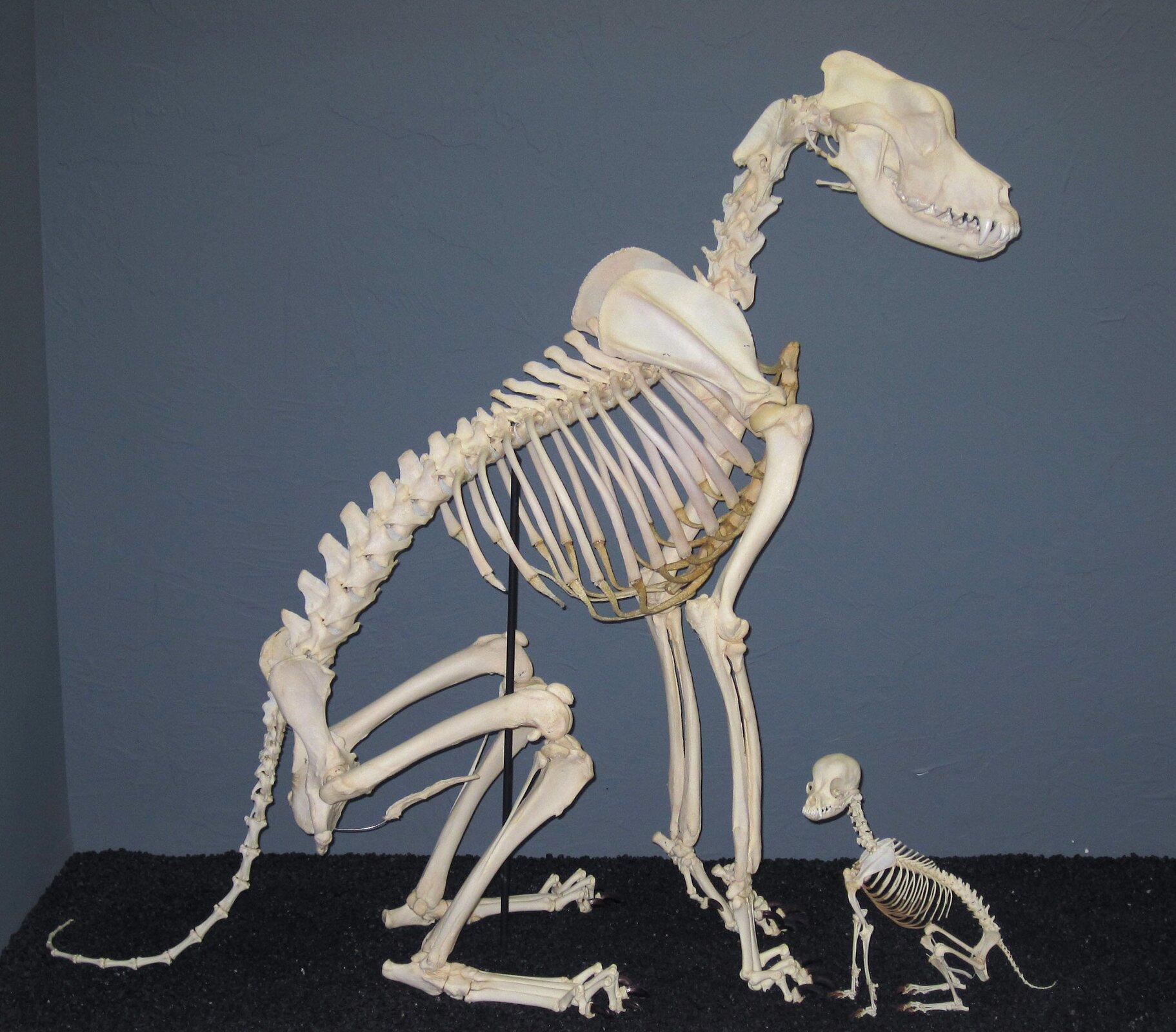 Druga ilustracja wgalerii. Na niej dwa szkielety psów. Szkielety zbudowane zbiałych kości. Po lewej szkielet największego psa. To dog. Szkielet przedstawiony bokiem. Czaszka skierowana wprawo. Na prawo od szkieletu doga mały szkielet chihuahua. Szkielet małego psa jest kilkakrotnie mniejszy od szkieletu doga. Chihuahua wpozycji siedzącej. Czaszka skierowana wlewo.