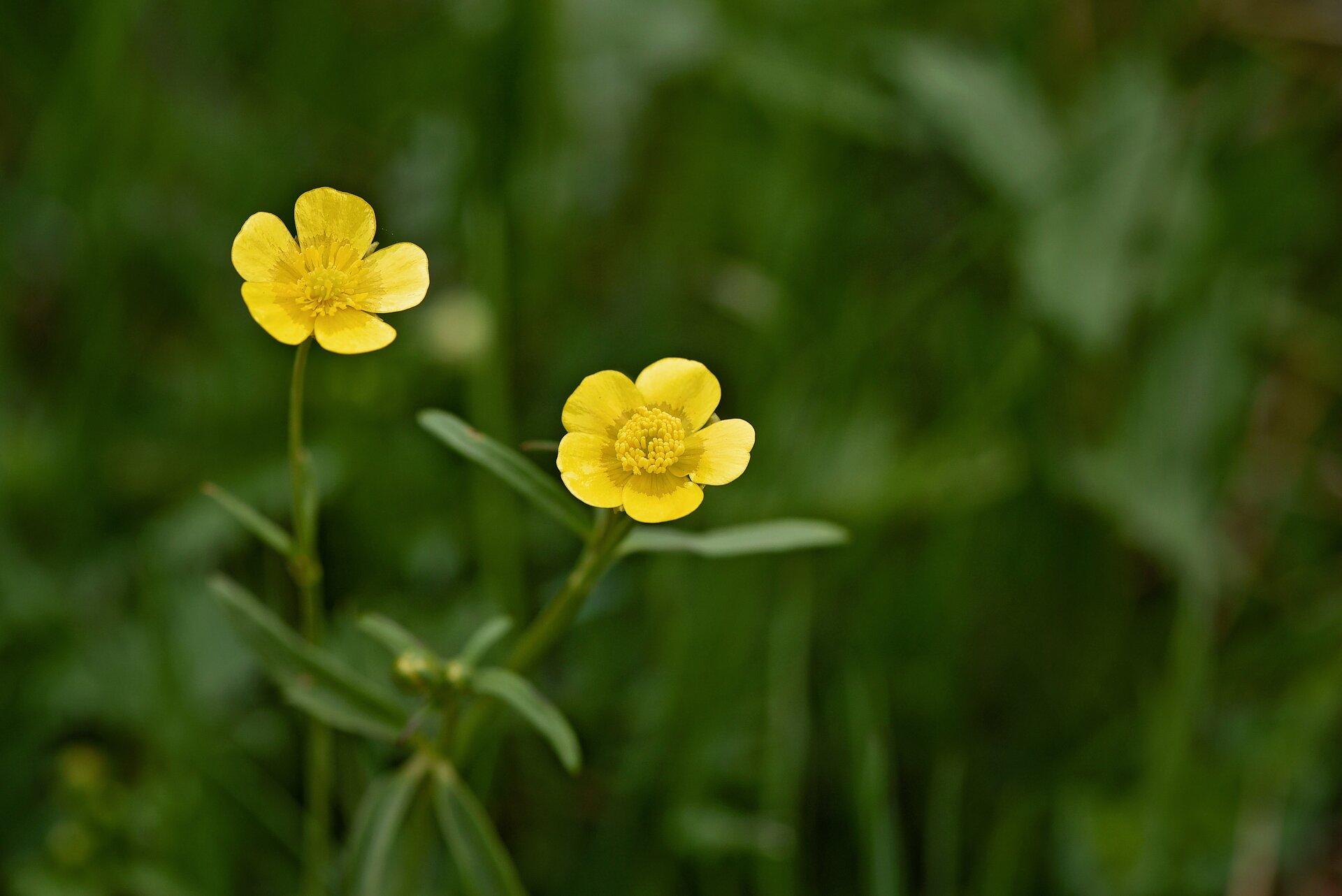 Fotografia przedstawia wzbliżeniu pęd jaskra. Ma duże, głęboko wcięte blaszki liściowe, skupione nisko. Na długich łodygach znajdują się żółte kwiaty opięciu płatkach.