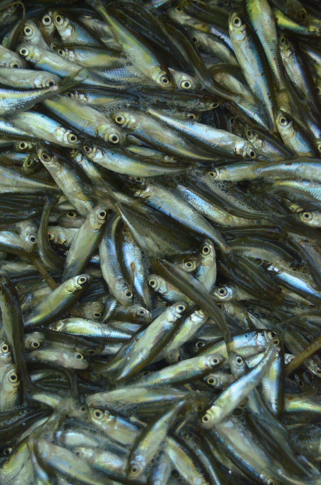Fotografia wykonana zgóry prezentuje dużą ilość wyłowionych śledzi usypanych wstos. Ryby mają długie, wąskie ciała zkrótkimi płetwami iczarnymi oczami. Łuski są szare na bokach igrzbiecie, abiałe na dole ciała.