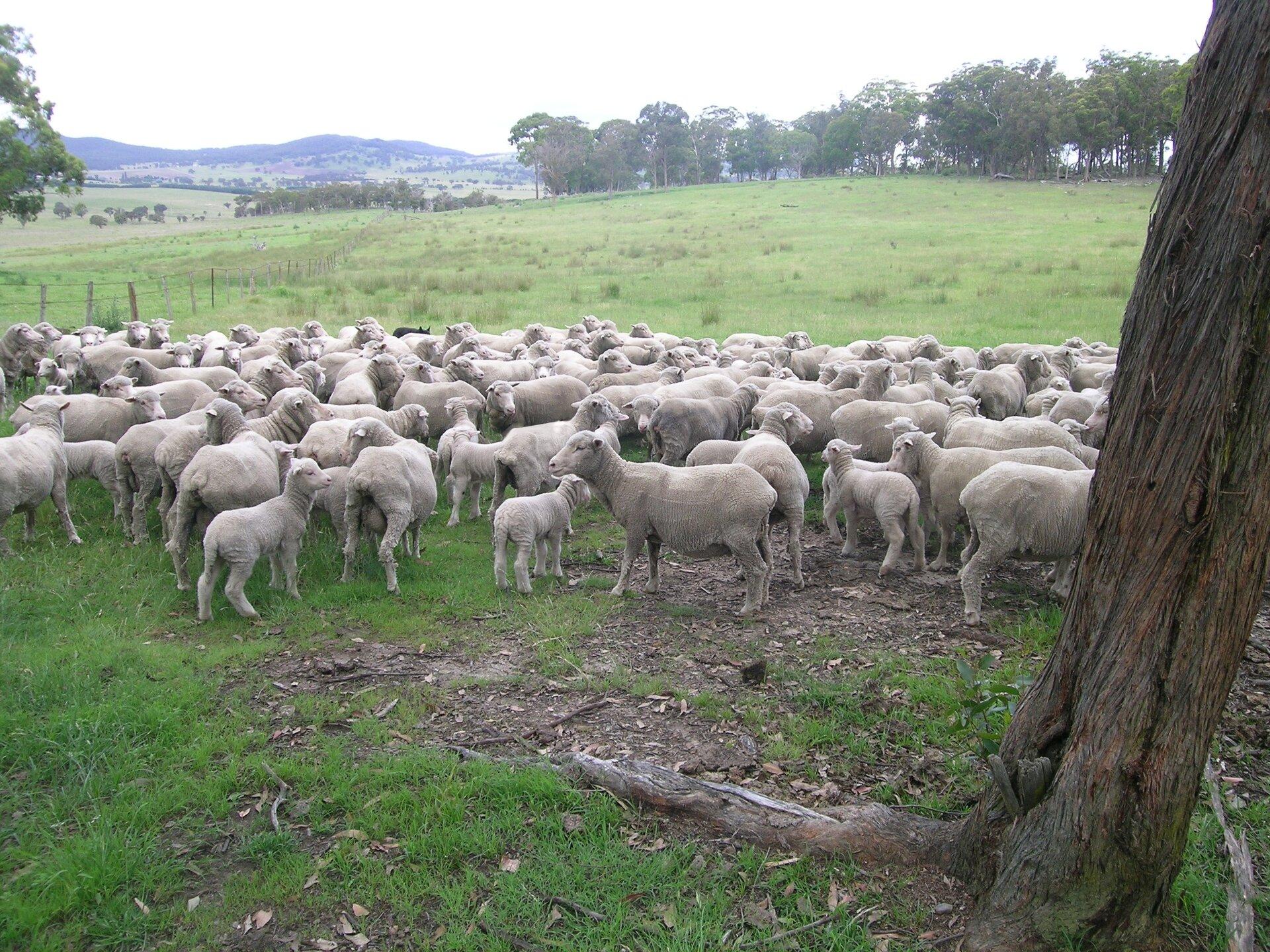 Na ilustracji stado ostrzyżonych owiec na rozległym pastwisku.