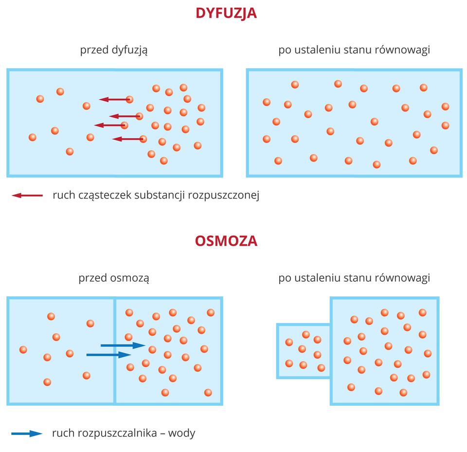 Ilustracja przedstawia porównanie procesów dyfuzji iosmozy wformie czterech błękitnych czworokątów. Pomarańczowe kulki symbolizują rozpuszczoną substancję. Czerwone strzałki wlewo ilustrują ruch substancji rozpuszczonej. Niebieskie strzałki wprawo ukazują ruch rozpuszczalnika. Prostokąty umieszczono wdwóch rzędach. Górny rząd podpisany jest dyfuzja. Lewy prostokąt podzielony jest przegrodą na dwa równe pola. Po prawej przedstawiono sytuację po jakimś czasie: kulki wypełniają przestrzeń równomiernie. Dolny rząd podpisany jest osmoza. Lewy prostokąt podzielony jest przegrodą na dwa równe pola. Strzałki wskazują na ruch wody przez przegrodę. Po prawej przedstawiono sytuację po jakimś czasie: jeden kwadrat jest mały, adrugi, za przegrodą, większy.