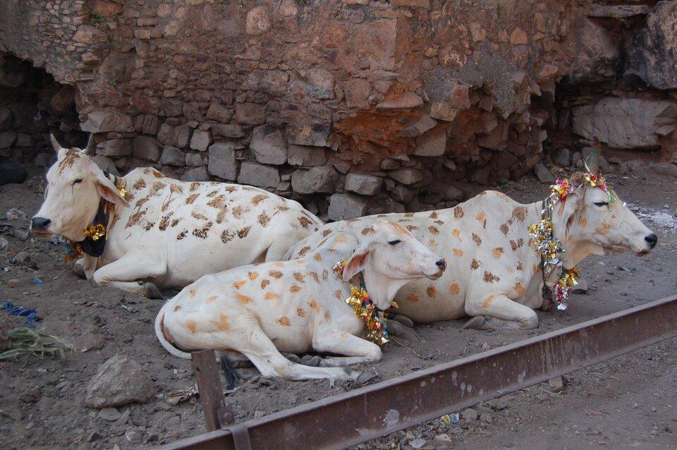 Na zdjęciu trzy białe krowy leżące na tle kamiennej ściany. Krowy ozdobione są girlandami ze złocistych papierków lub skrawków materiału, które mają powieszone na szyjach. Na całym ciele namalowane żółtą ibrązową farbą niewielkie plamki.