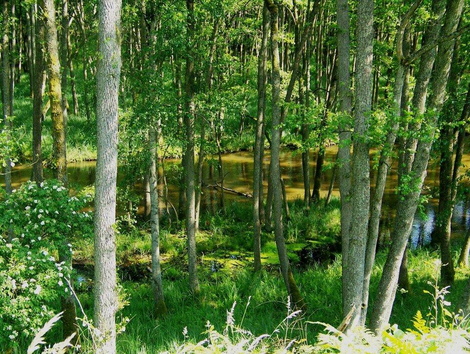 Na zdjęciu las liściasty wpodmokłym terenie, stojąca woda.