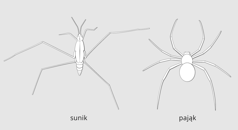 Ilustracja przedstawia dwa stawonogi opodobnych sylwetkach widziane zgóry. Rysunki ułożone obok siebie. Po lewej sunik. Po prawej pająk. Budowa sunika: słabo wyodrębniona głowa, tułów ipodłużny wrzecionowaty odwłok. Na głowie dwa długie czułki. Po obu stronach odwłoka trzy pary odnóży. Odnóża bardzo długie, członowane. Budowa pająka: głowotułów bez czułek, zaokrąglony odwłok. Po obu stronach ciała cztery pary odnóży.