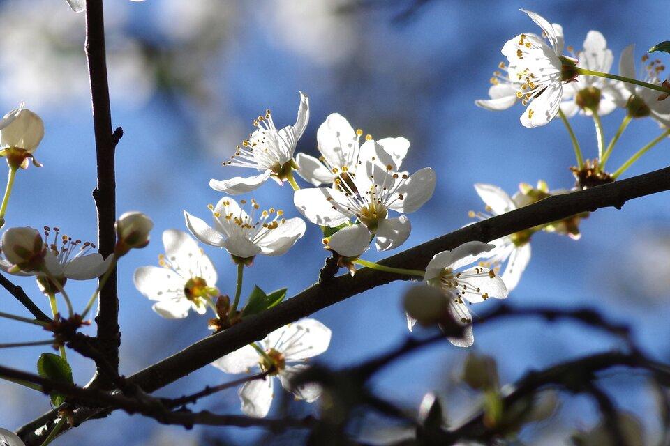 Fotografia przedstawia gałęzie drzewa zkwitnącymi na wiosnę kwiatami.