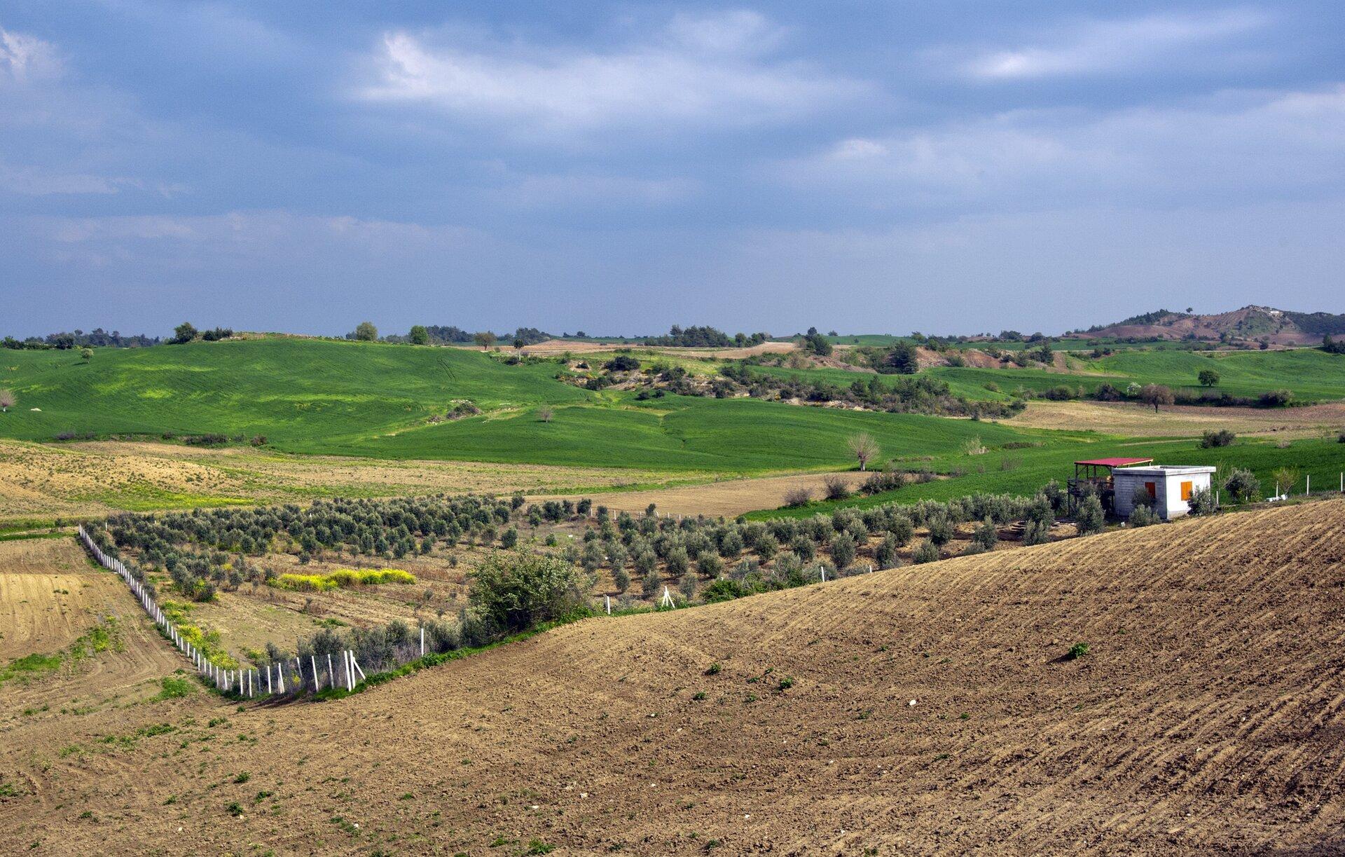 Na zdjęciu uprawa drzew oliwkowych. Plantacje na terenie pagórkowatym.