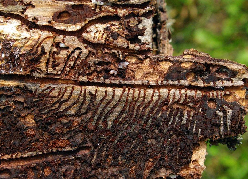 Fotografia przedstawia zbliżenie suchego pnia, pozbawionego kory. Wjasnobrązowym drewnie znajdują się liczne korytarze, wydrążone przez larwy kornika drukarza. Mają kształt długich linii zgęsto rozmieszczonymi odgałęzieniami na boki.