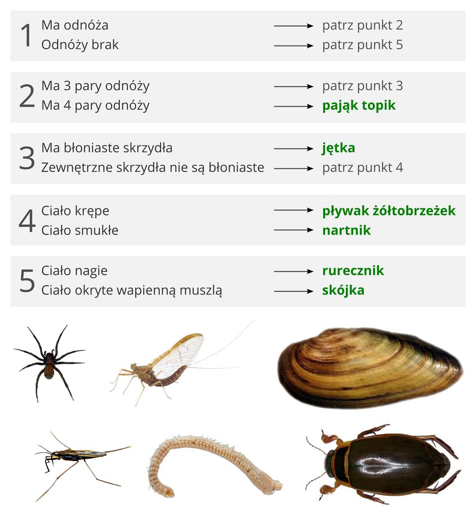 Ilustracja pokazująca sposób korzystania zklucza do oznaczania organizmów na przyładzie klucza do oznaczania organizmów wodnych