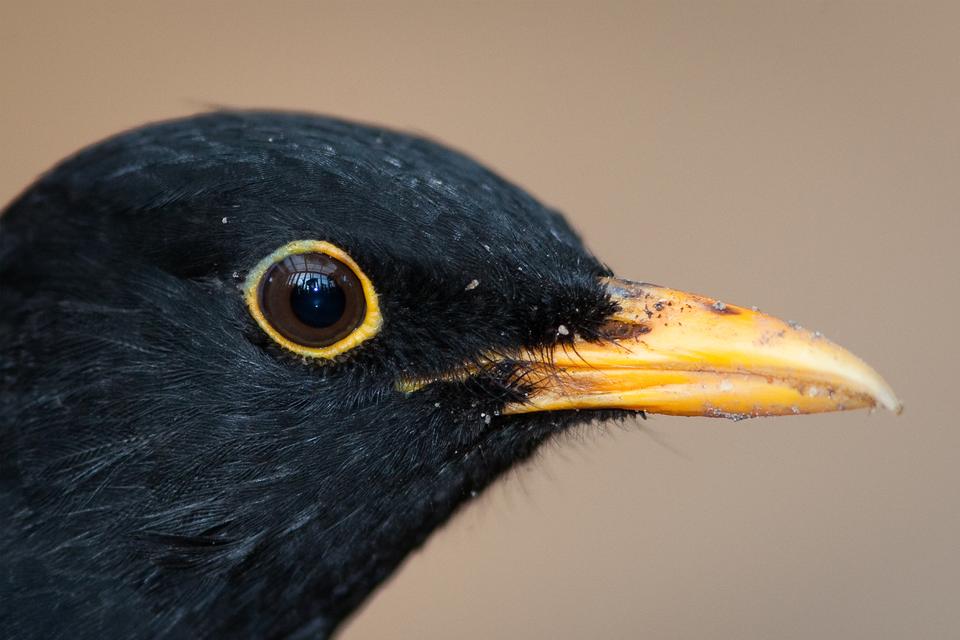 Fotografia przedstawia zbliżenie głowy czarnego kosa. Dziób wprawo, żółty, długi, mocny.