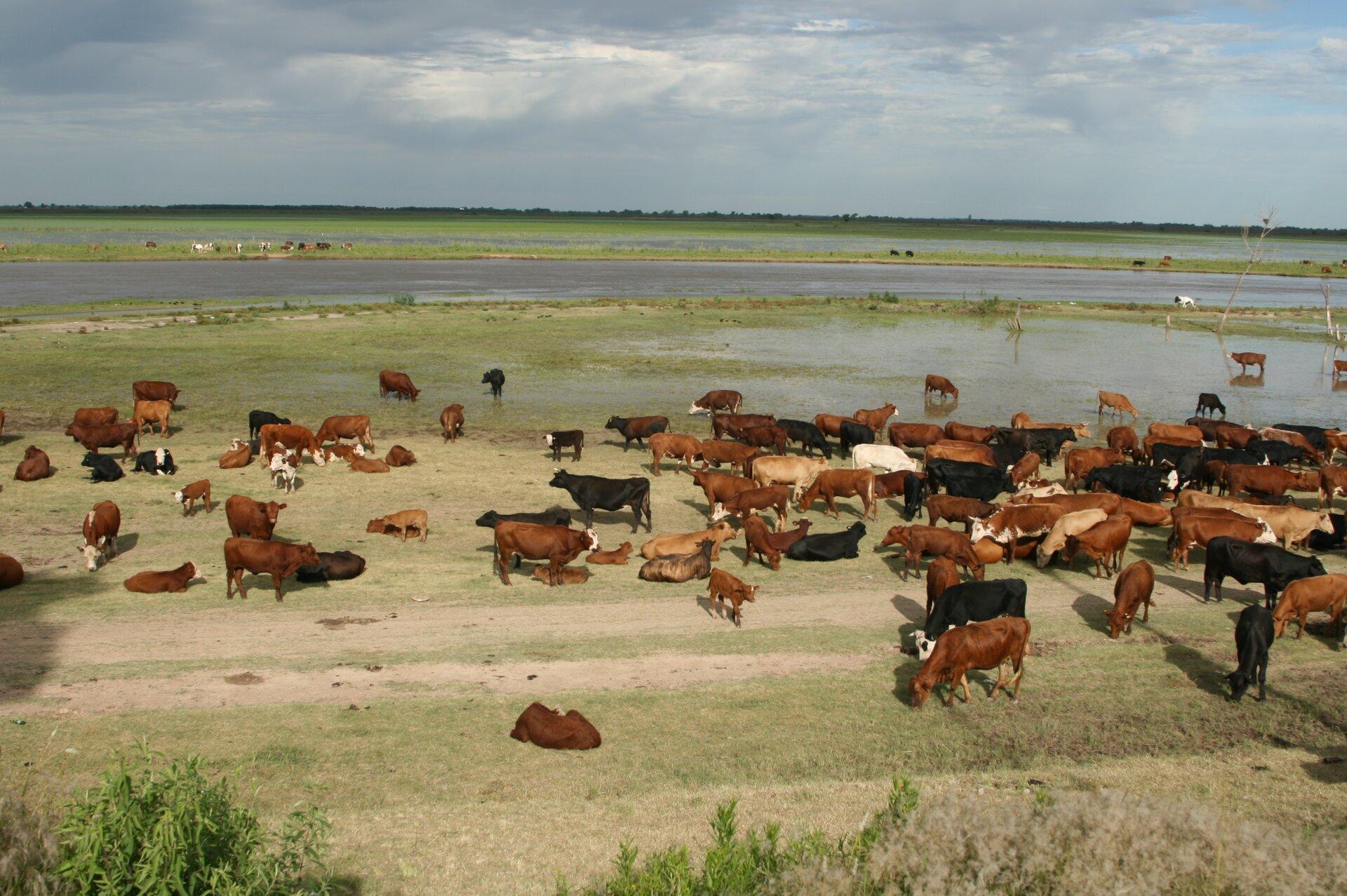 Fotografia trzecia prezentuje olbrzymie pastwisko, na którym pasie się stado krów.