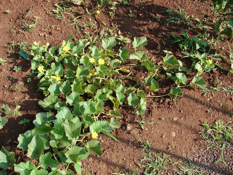 Fotografia przedstawia dynię, rosnącą wogrodzie. Między dużymi liśćmi znajdują się żółte kwiaty. Długie pędy rosną po ziemi (płożą się).