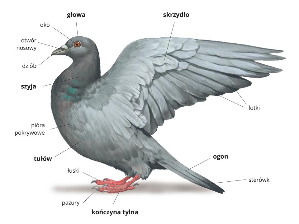 Wgalerii znajdują się ilustracje, opisujące budowę ptaka.Ilustracja przedstawia szarego gołębia zuniesionymi skrzydłami. Głowa wlewo, na niej pomarańczowe oko ikrótki dziób zotworem nosowym pod jaśniejszą skórą. Szyja krótka, mieni się kolorami piór pokrywowych. Po tułowiem czerwone kończyny tylne, pokryte łuskami, zpazurami na końcach czterech palców. Wogonie sterówki, wskrzydle lotki .