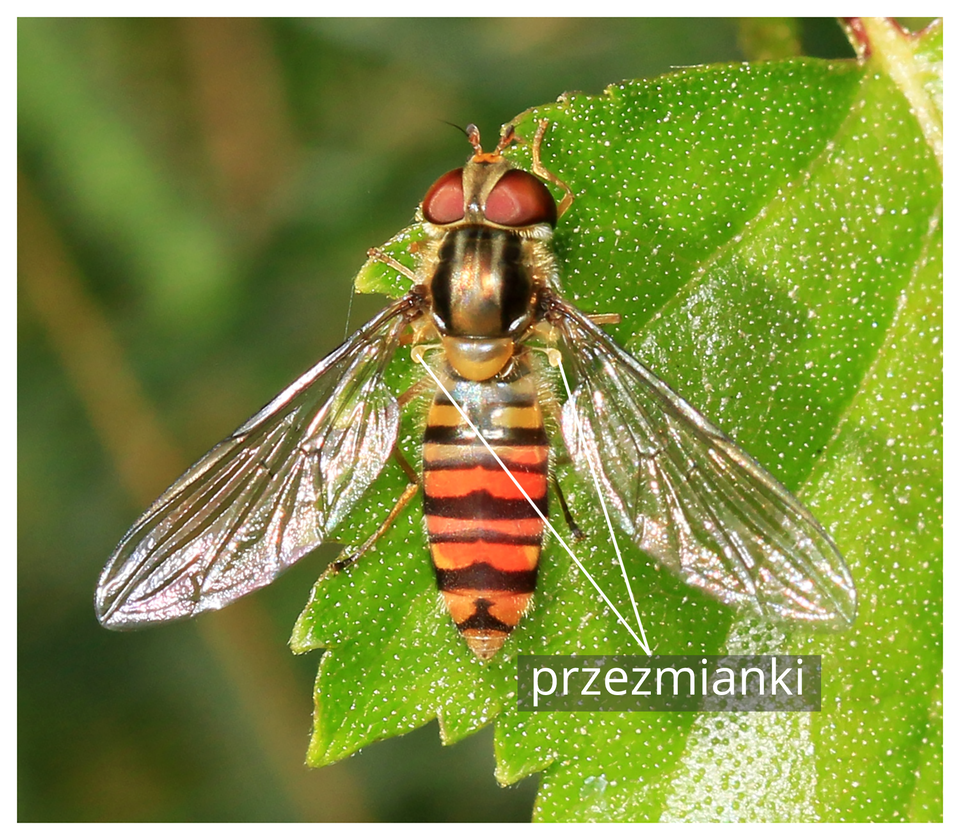 Fotografia przedstawia wpionie zbliżenie pomarańczowo - brązowego owada na zielonym, nakrapianym liściu. Bzyg prążkowany ma na głowie duże, jasnobrązowe oczy, azprzodu krótkie czułki. Tułów wypukły, ciemnobrązowy, błyszczący. Po bokach tułowia dwa błoniaste, rozłożone ukośnie skrzydła. Pod nimi podpisane żółte, maczugowate przezmianki, czyli przekształcona druga para skrzydeł.