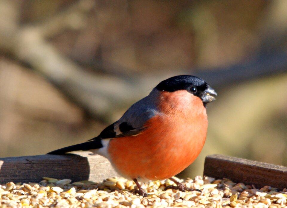 Trzecia ilustracja to gil. Podbrzusze ptaka jest czerwone. Górna część głowy jest czarna. Skrzydła są szare wgórnej części iczarne na końcach.