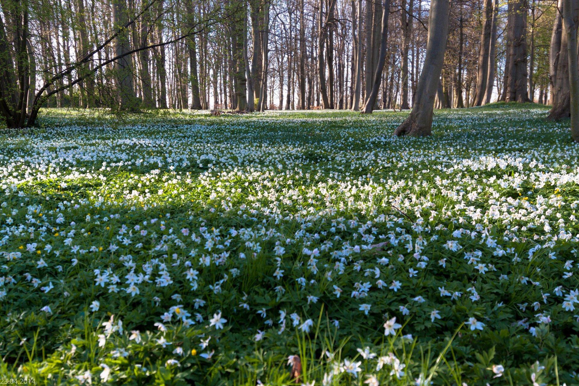 Fotografia przedstawia las wiosną. Drzewa nie mają jeszcze liści, dlatego do dna lasu dociera dużo słońca. Wrunie bardzo licznie rosną ikwitną białe zawilce. Są one światłolubne.