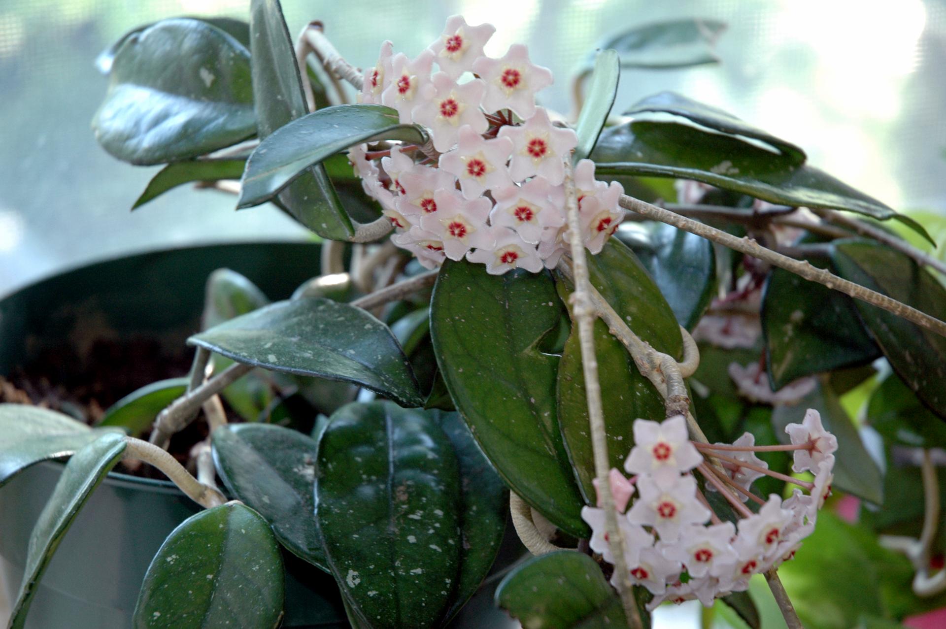 Fotografia prezentuje białe kwiatostany hoi.