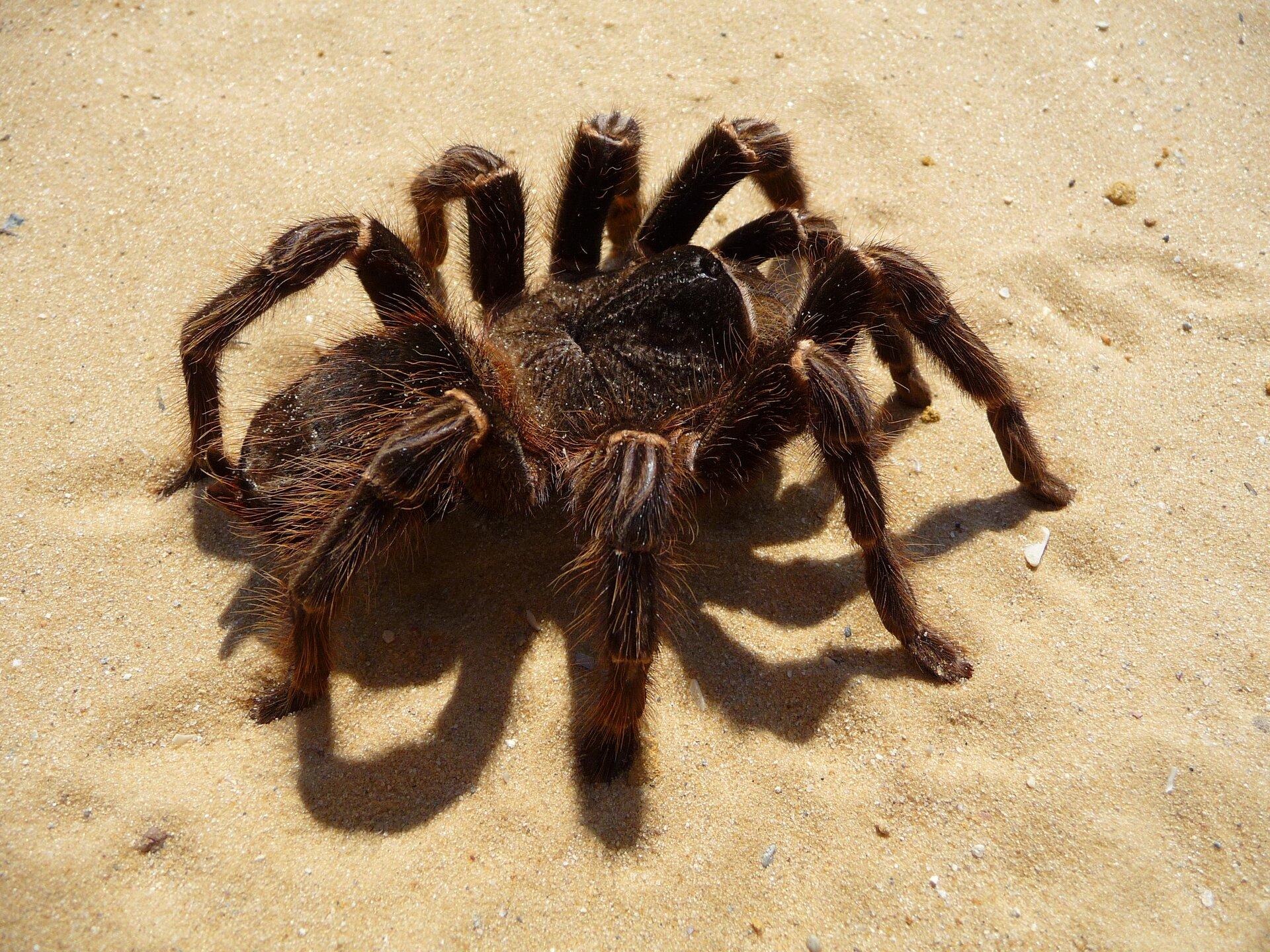 Galeria składa się zfotografii przedstawicieli pajęczaków. Fotografia przedstawia lekko ukosem grubego, rudo owłosionego, ciemnobrązowego pająka na piasku. To ptasznik. Jego odnóża gębowe po prawej są niemal tak długie jak odnóża kroczne.